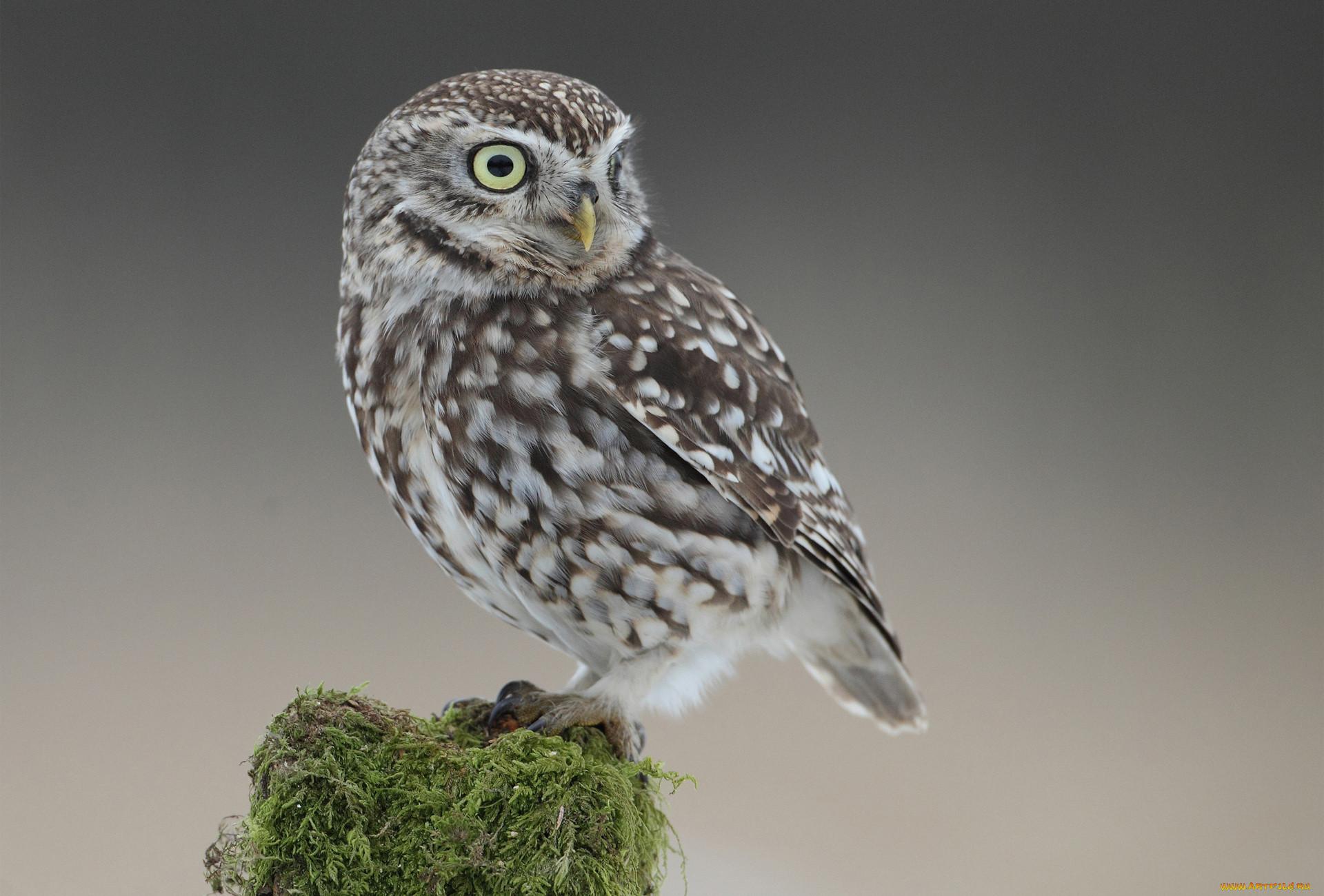 Фотографии животные совы оперение
